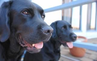 К чему снится черная собака: следите за своим здоровьем — возможны разные заболевания. К чему снится чёрная собака? Основные толкования, к чему снится чёрная собака