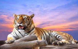 Снится тигренок: трактовка образа по соннику. К чему снится тигр