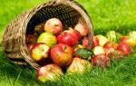 Снятся спелые наливные яблоки на дереве. К чему снятся яблоки женщине: сонник красные, зеленые, большие, собранные и спелые яблочки