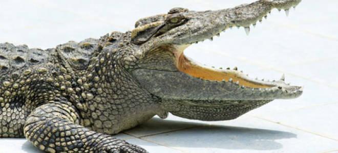 Маленькие крокодилы во сне. К чему увидеть крокодила во сне? Значение сновидения Крокодил