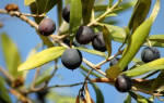 К чему снится есть оливки во сне. Оливки: толкование сновидения