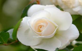 К чему снится много белых роз. Белые розы во сне