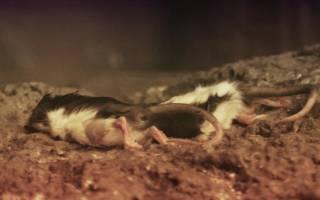 К чему снится дохлая крыса черная. К чему снятся дохлые крысы? Домашняя, ручная крыса